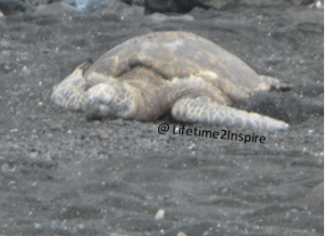 Visited a beach with black sand, so cool, but the tourists scared the turtles :/